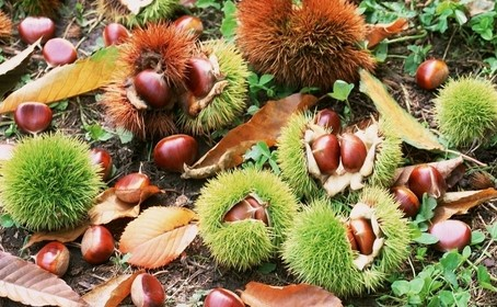 绿色食品板栗的生长过程