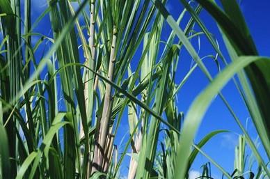 绿色食品甘蔗的生长