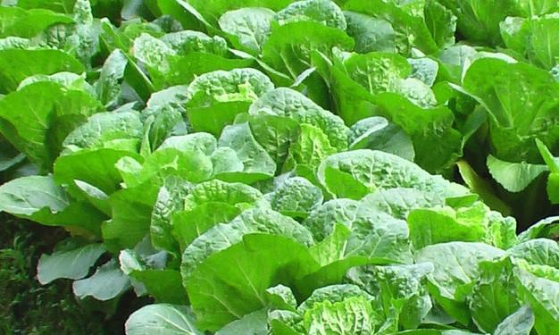 绿色食品小白菜