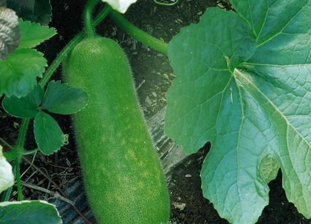 农业菜瓜介绍