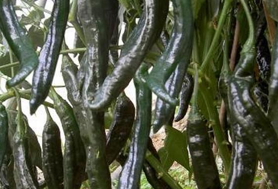 农业成熟的辣椒