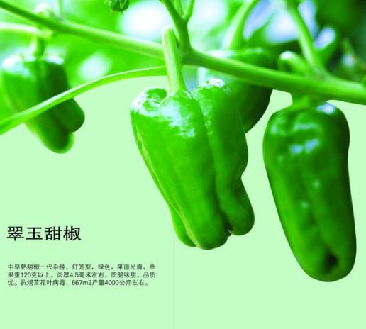 农业翠玉甜椒