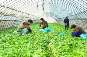 农业大棚蔬菜12