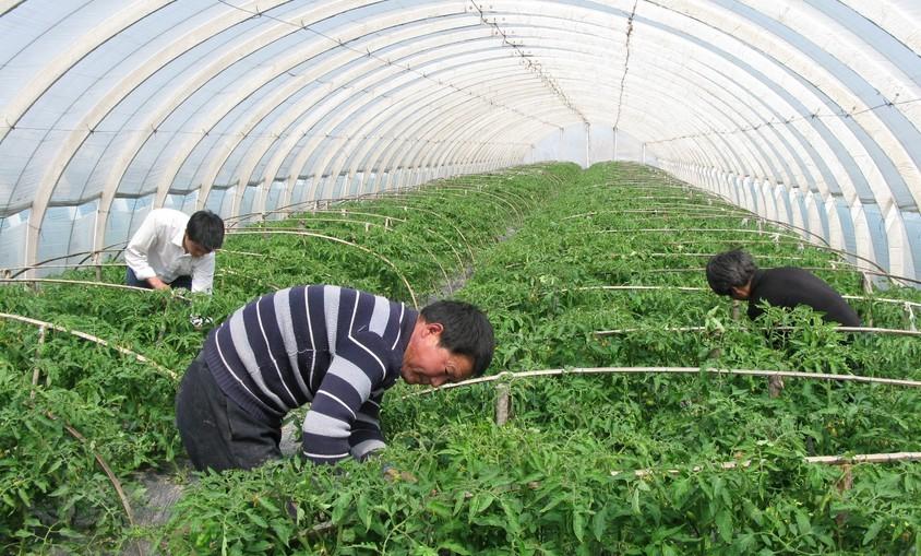 农业大棚种植2
