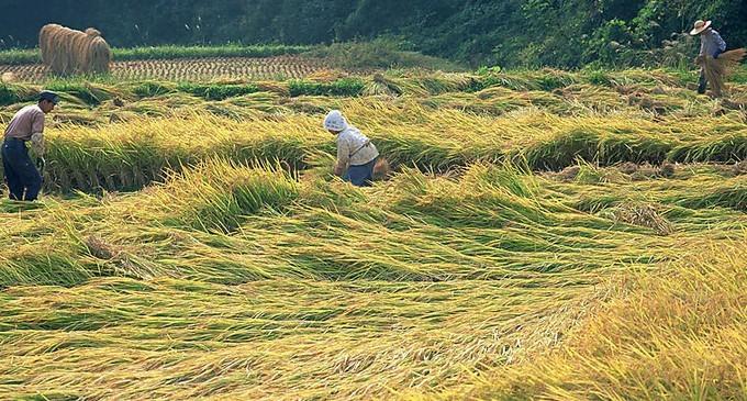 农业稻田收割