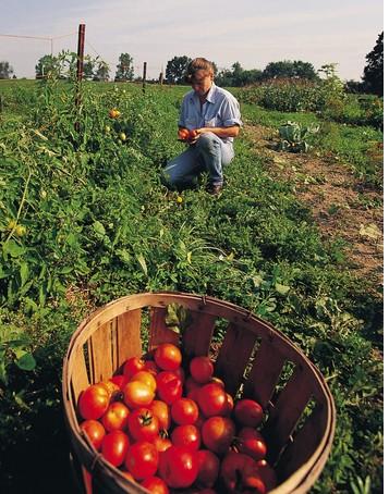 农业番茄采摘