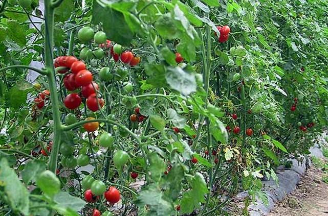 农业番茄一览