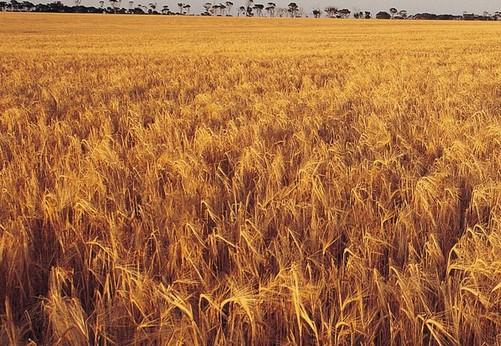 农业金黄的稻田