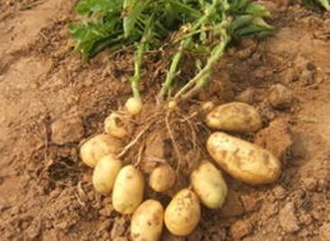 农业萝卜种植