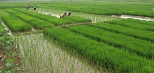 农业水稻种植