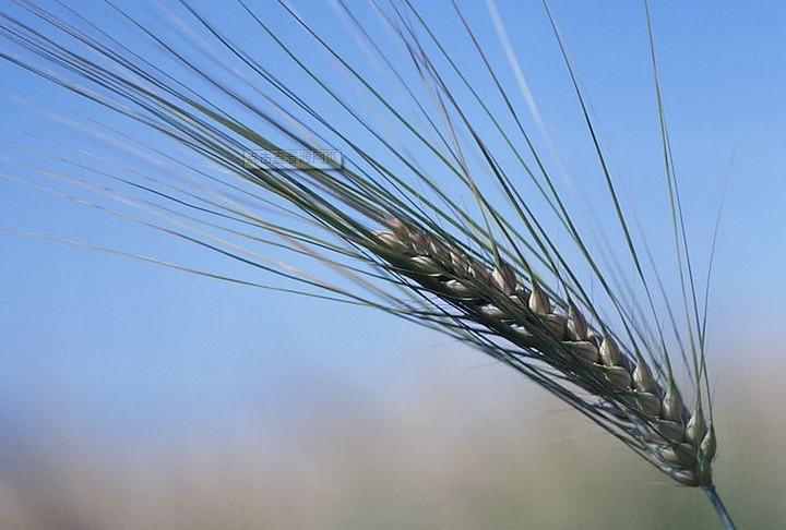 农业小麦2