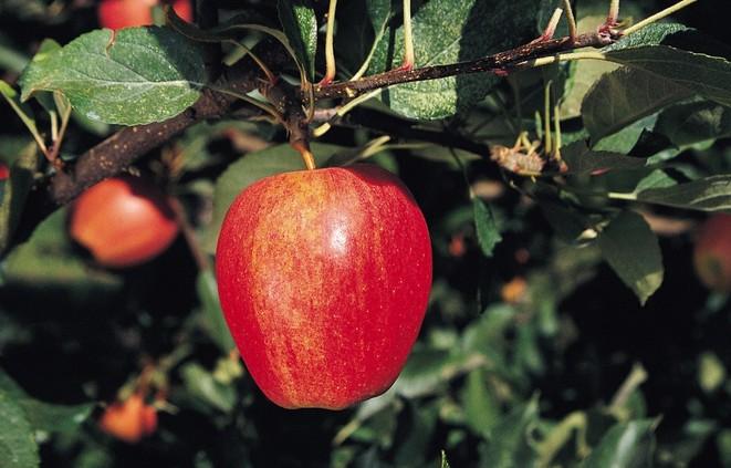 农业中的苹果