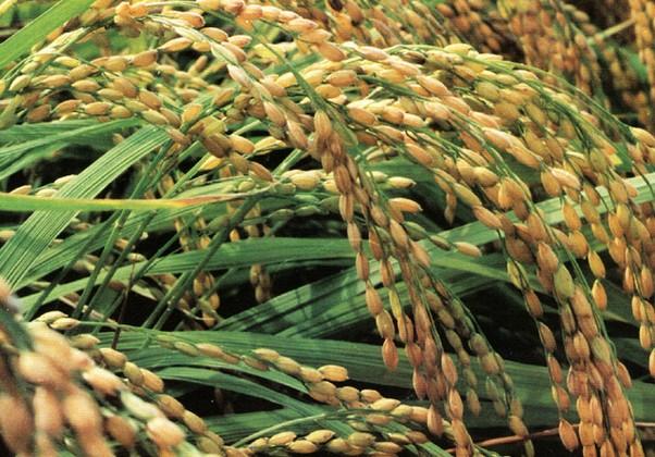 水稻生态农业