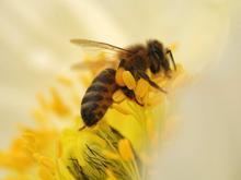 蜂王浆的主要作用_蜂王浆是治疗什么的
