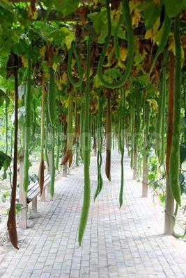 温室大棚蔬菜种植规程_大棚蔬菜种植技术