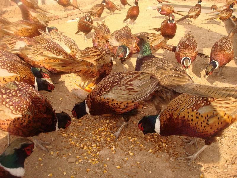 山鸡养殖饲料配方