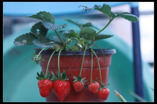 自己在家种草莓,绿色环保又健康