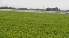 有机蔬菜种植_秋播四季豆栽培技术