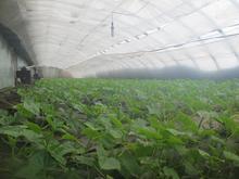 蔬菜大棚种植建设_大棚黄瓜种植技术