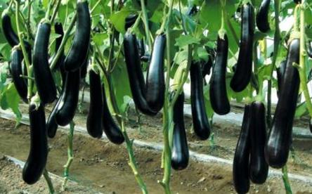 蔬菜大棚茄子种植_东北蔬菜种植技术