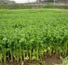 有机蔬菜种植技术_有机蔬菜种植要点