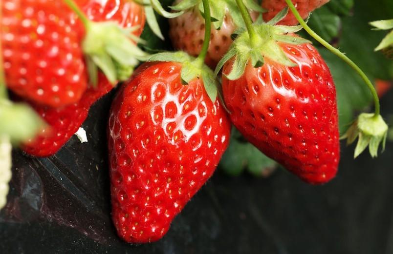 草莓休眠的生理基础分析