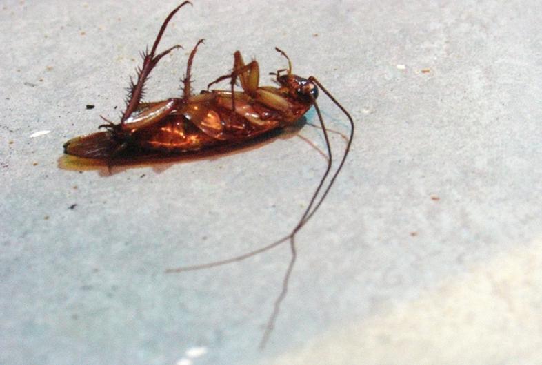 不同种类的蟑螂食性也有差别正如德国小蠊爱吃发酵的食品