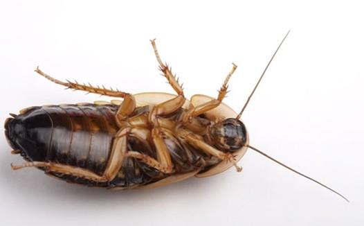 小强也有大作为世界最大蟑螂养殖基地