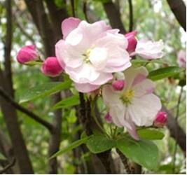 盆景海棠花的养殖方法介绍