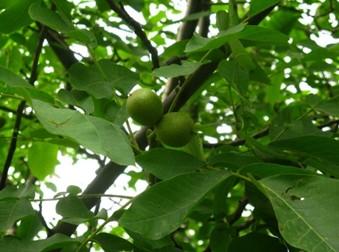 清香核桃树的种植管理技术要点