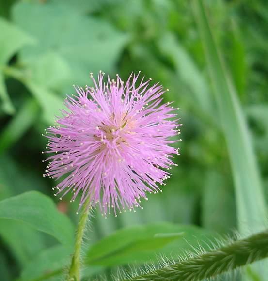 叶子具有相当长的叶柄柄的前端分出四根羽轴的含羞草