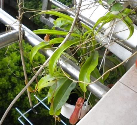 为豆科多年生草本或亚灌木的含羞草