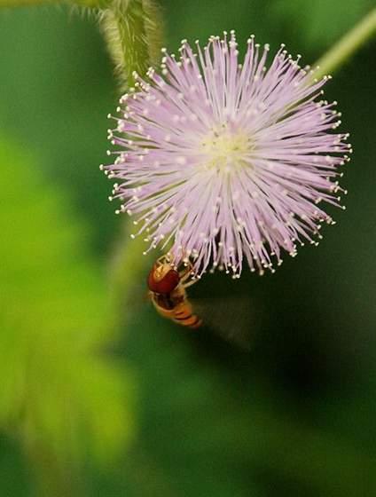 原产于南美热带地区的含羞草易于成活