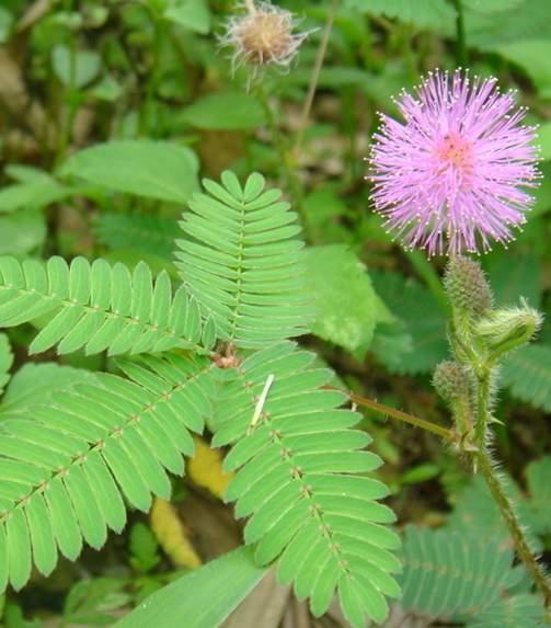 含羞草的种植方法介绍与害虫的防治方法