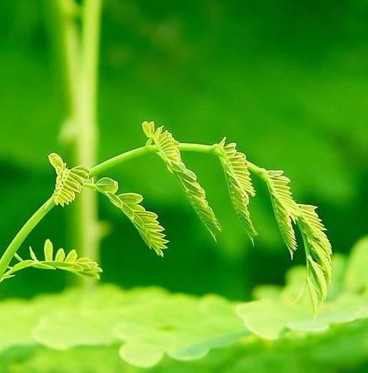 当含羞草长出苗后将盆上覆盖物拿掉让含羞草接受阳光