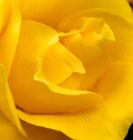 除了色彩艳丽还能散发出香甜味的彩虹玫瑰