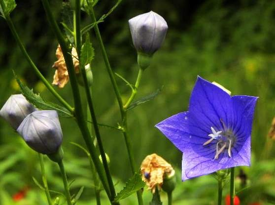 属桔梗科桔梗属的多年生宿根草本花卉的桔梗花