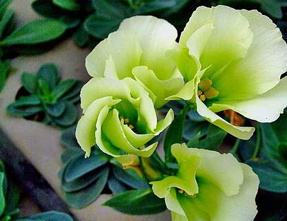 桔梗花的别名-桔梗花又名僧冠帽铃铛花的草本花卉