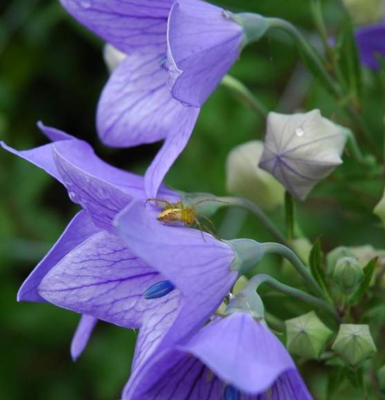 桔梗花的药用价值与桔梗花的观赏效果