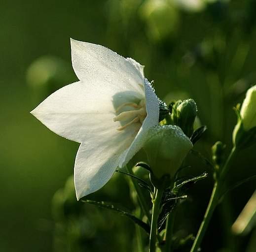 应深翻土壤施足基肥用作切花栽培的桔梗花
