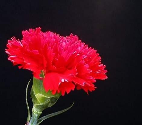 康乃馨象征着的意义-以粉红色康乃馨作为母亲节的象征