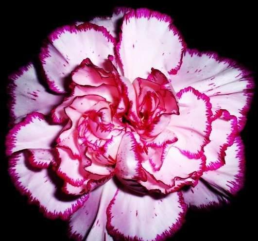 康乃馨的种植技术-花期4月至9月保护地栽培四季开花