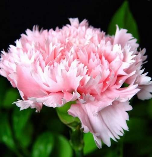 从欧洲引进新品种的康乃馨进行扩大推广