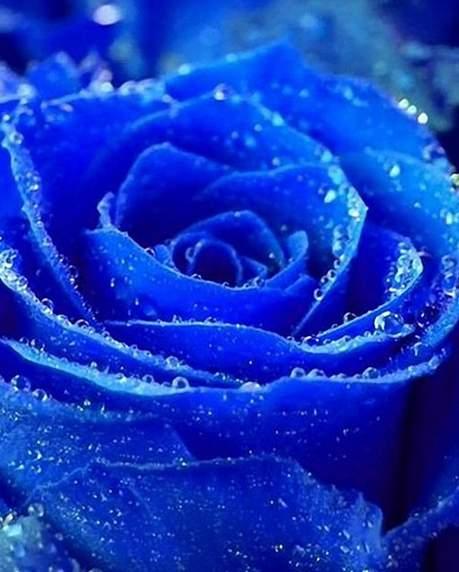 迄今已培育出2500多个品种的蓝色玫瑰