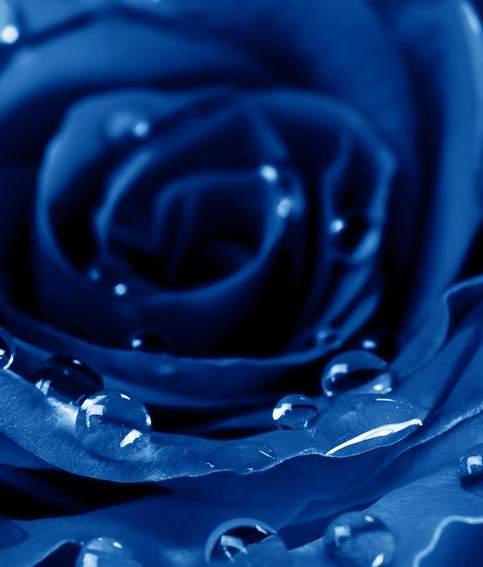 人们梦想开发出蓝玫瑰可是却都是失败了