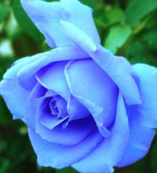 玫瑰花没有产生蓝色色素的基因无法生长蓝色花瓣