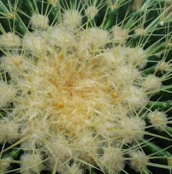 原产南美草原的仙人掌科属植物的仙人球植物