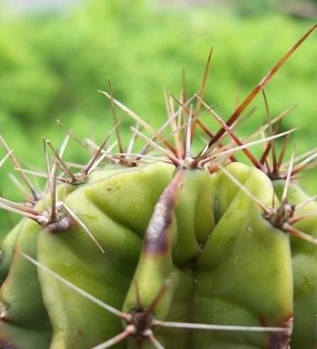 原产于南美洲俗称草球又名长盛球的仙人球