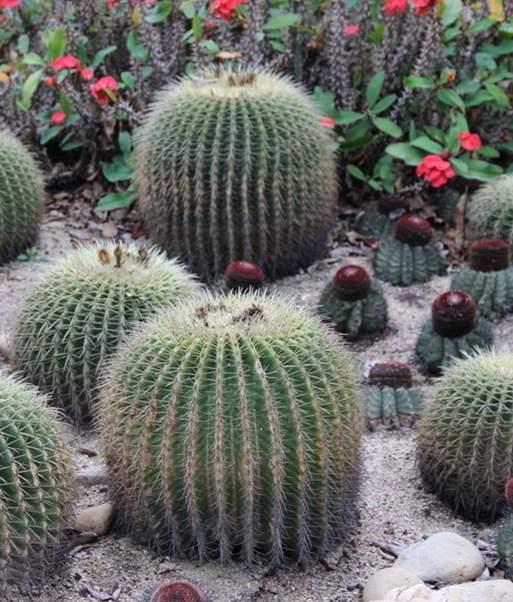 仙人球的养殖介绍-仙人球的生长期与仙人球的盛花期