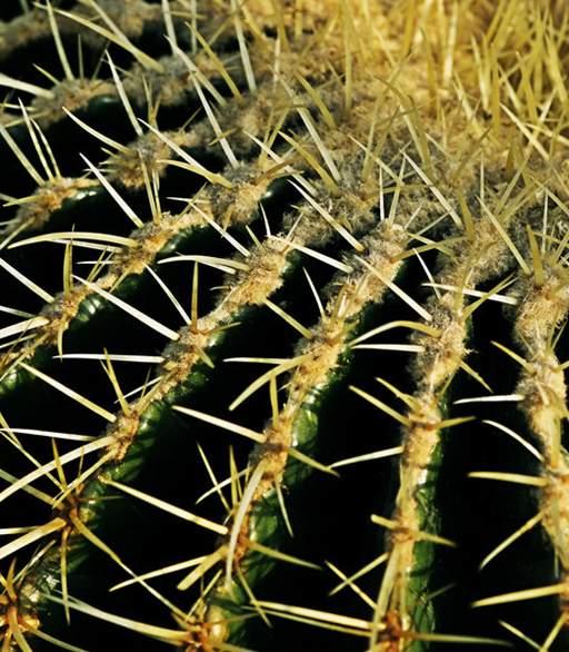 寿命长体积大可高达五百年的植物仙人球